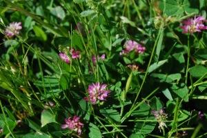 trifolium tomentosum 1