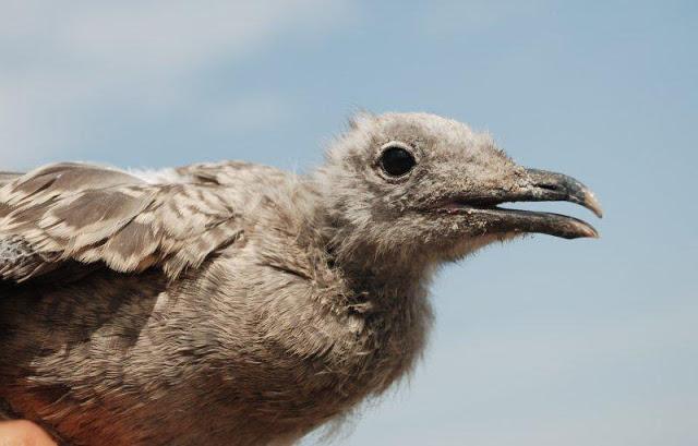 La gaviota de Audouin coloniza la ciudad de Barcelona | Birds in Spain