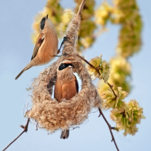 Pájaro-moscón europeo construyendo nido  (Cornellá 10-3-2014)(Salva Solé)