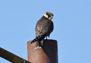 Falco subbuteo (J. David Tabara)