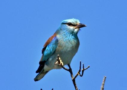 Gaig blau (Eio Ramon)