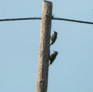 Simpàtica foto de dos picots verds, en tandem  (Jesús Foncubierta)