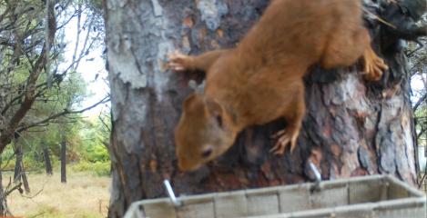 S'estableix l'esquirol al delta del Llobregat |DEPANA